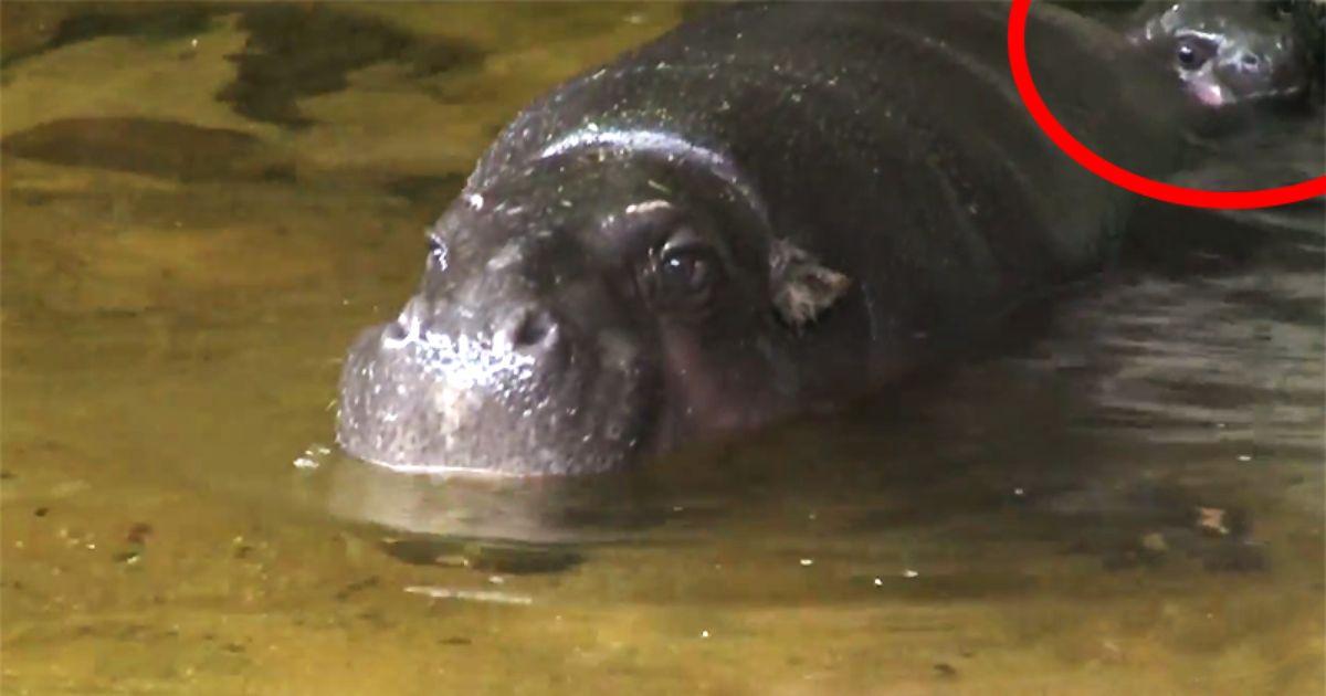 Seltenes Zwergflusspferdbaby Wurde Im Zoo Von Melbourne Geboren