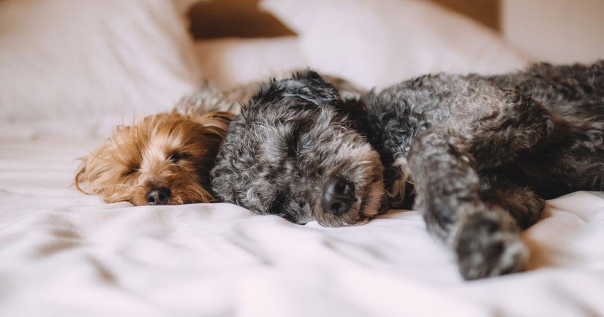 5 gr nde warum es nicht immer gut ist dass der hund im bett schl ft. Black Bedroom Furniture Sets. Home Design Ideas