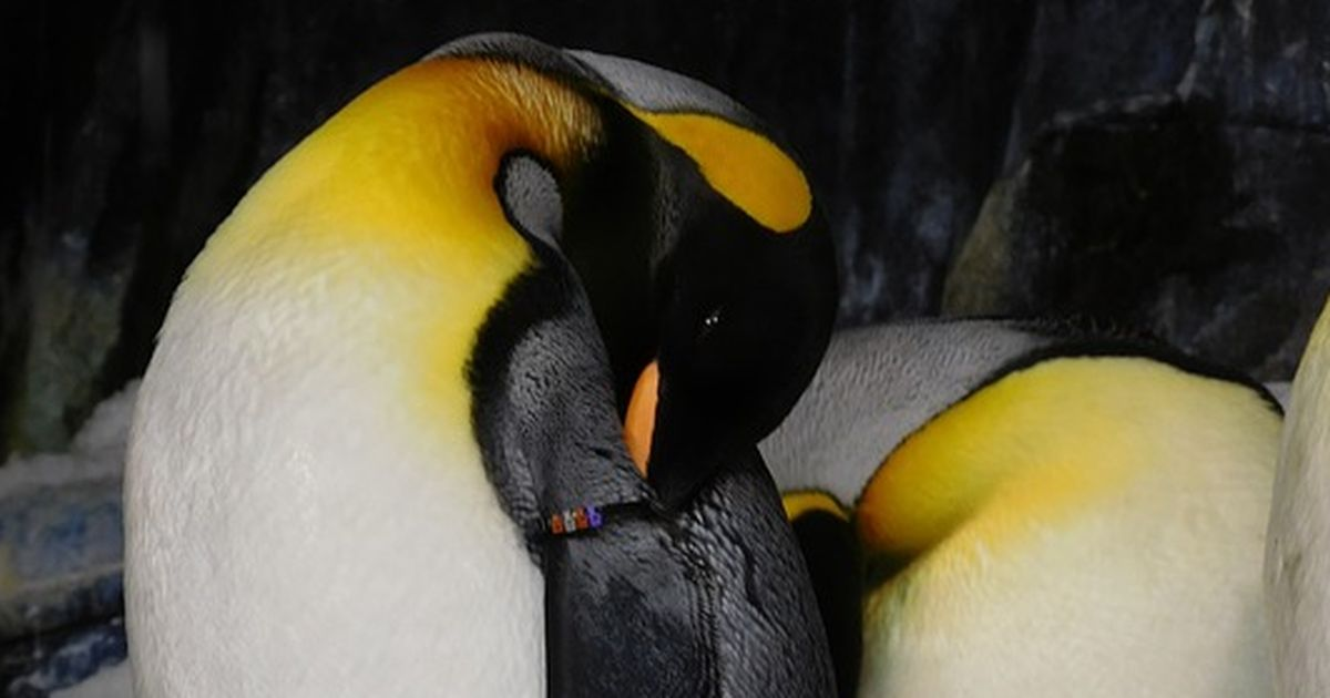 Schwule Pinguine K 246 Nnen Endlich Zusammen Leben