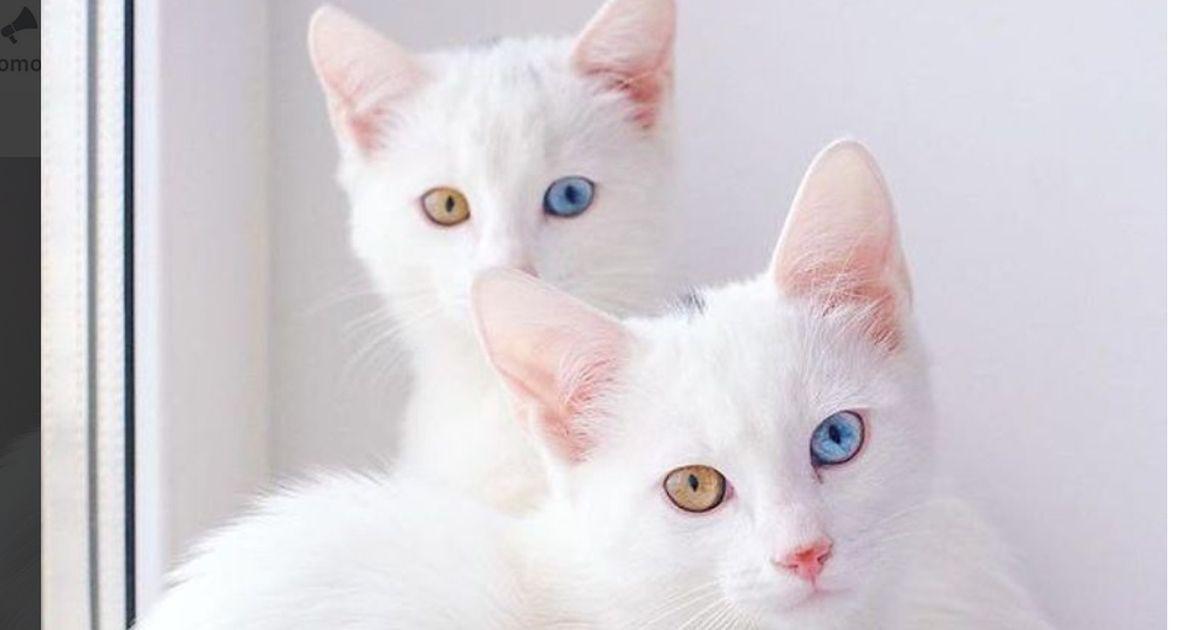 das sind die au ergew hnlichsten katzen zwillinge. Black Bedroom Furniture Sets. Home Design Ideas