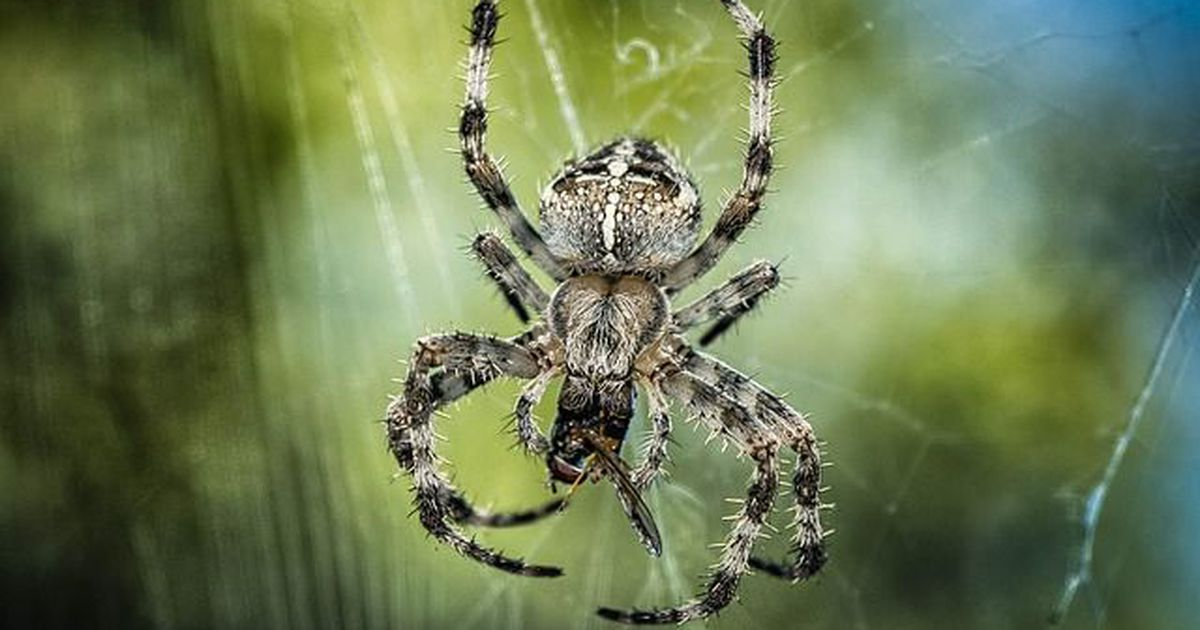 so viele insekten fressen spinnen j hrlich. Black Bedroom Furniture Sets. Home Design Ideas