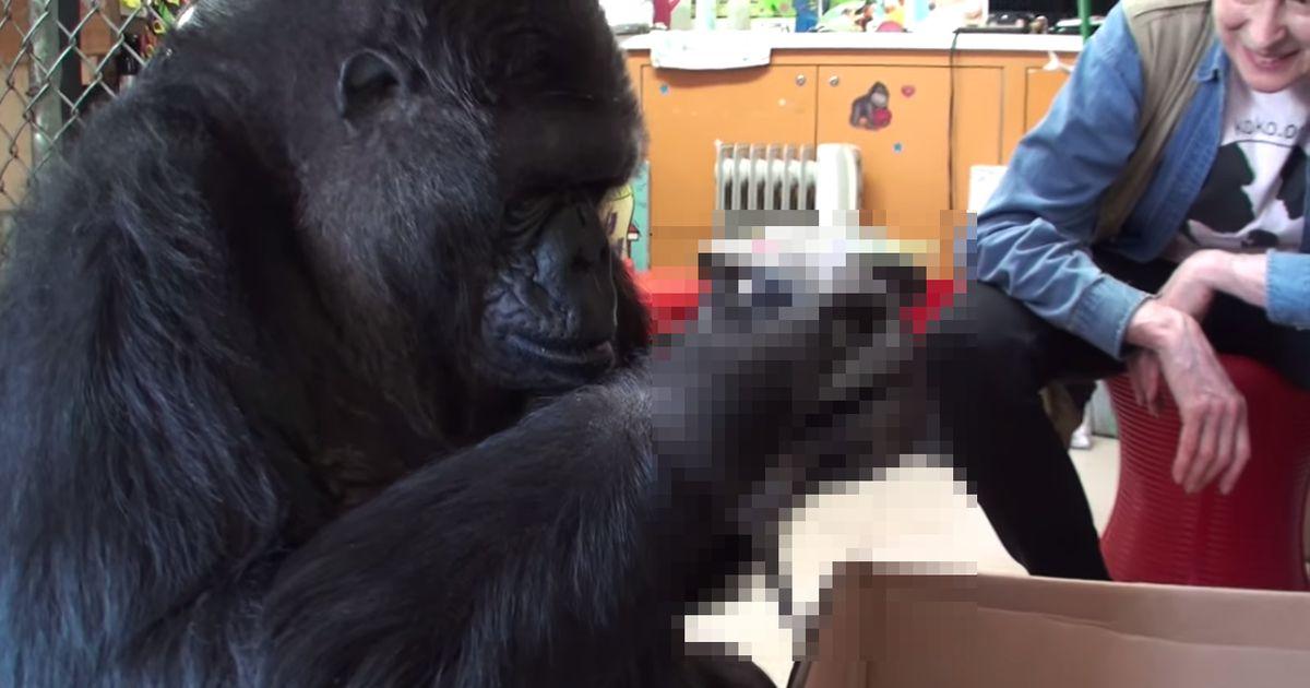 sehen sie den gorilla